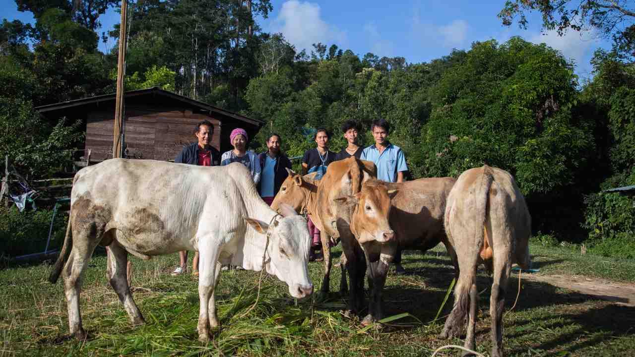 โครงการเลี้ยงวัว